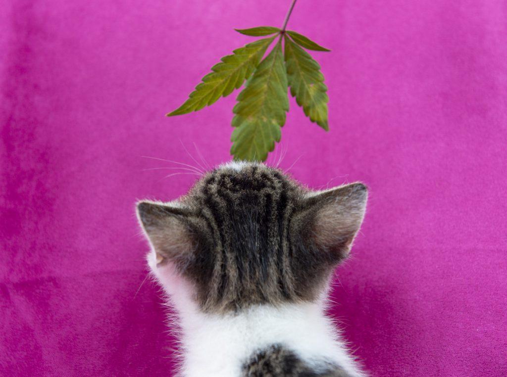 kitten smelling hemp leaf